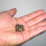 jasmijn thee parels in hand